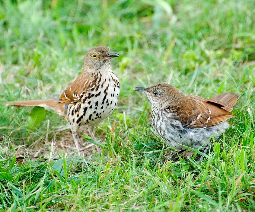 The Brown Thrasher was originally nominated as the state bird of Georgia by schoolchildren in 1928, but wasn't officially adopted until 1970. https://t.co/PyEGohcC17