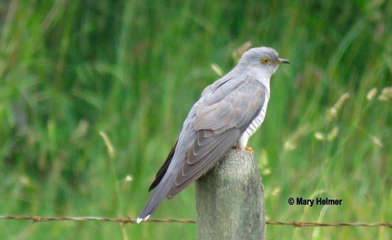 The ABA Area This Past Week Highlighted By Extraordinary COMMON CUCKOO In British Columbia Get Scoop At Blog Bitly 2MvWj2L