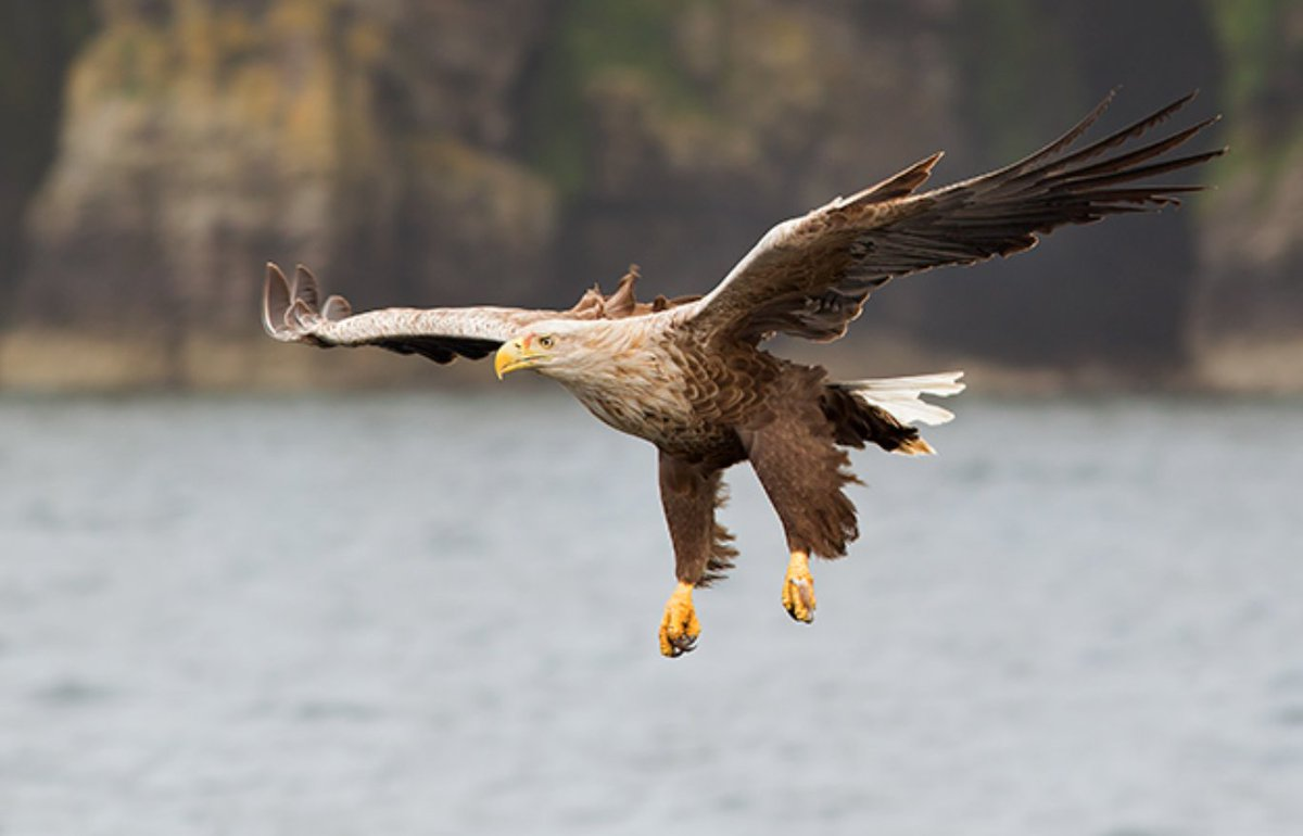 First White-tailed Eagle chick in Orkney for over 140 years! rarebirdalert.co.uk/v2/Content/RSP…