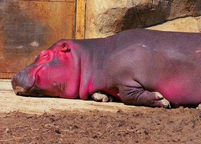 #nitiasa #ルパパト  今週登場の『バガット・カババッチ』モチーフはカバ。名前の由来は口を開ける『ガバッと』のアナグラム。ピンクのカバの造形は『汗の色』を表してる。
