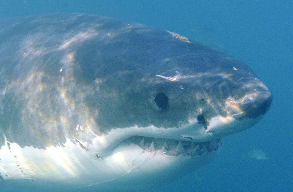 Hai-Alarm vor #Mallorca: Weißer #Hai nahe der beliebten Urlaubsinsel gesichtet https://t.co/uWnNVWneBx