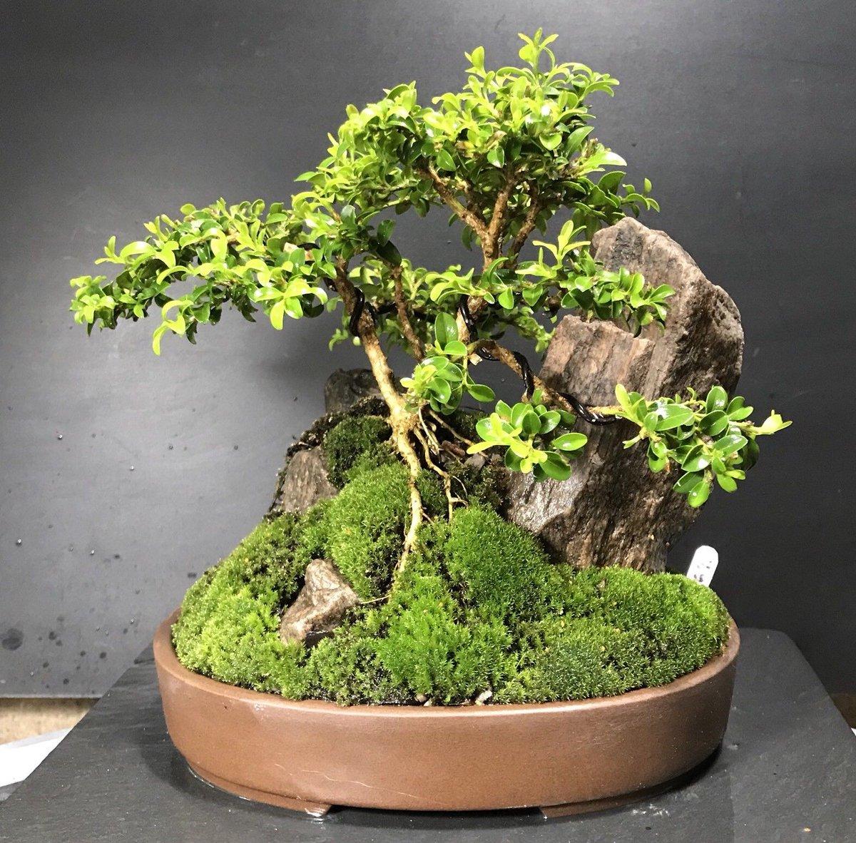 Wikibonsai Com On Twitter Bonsai Kingsville Boxwood Saikei Mini Rocky Landscape 9 Years From Cutting Https T Co Wgmhakrkyd Juniper Juniperusbrevifolia Juniperusphoenicea Https T Co Mhv7yxhw3j