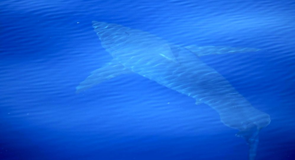 """Weißer #Hai vor #Mallorca gesichtet: """"Wir gehen davon aus, dass da noch mehr sind"""". https://t.co/SBLNl349Py"""