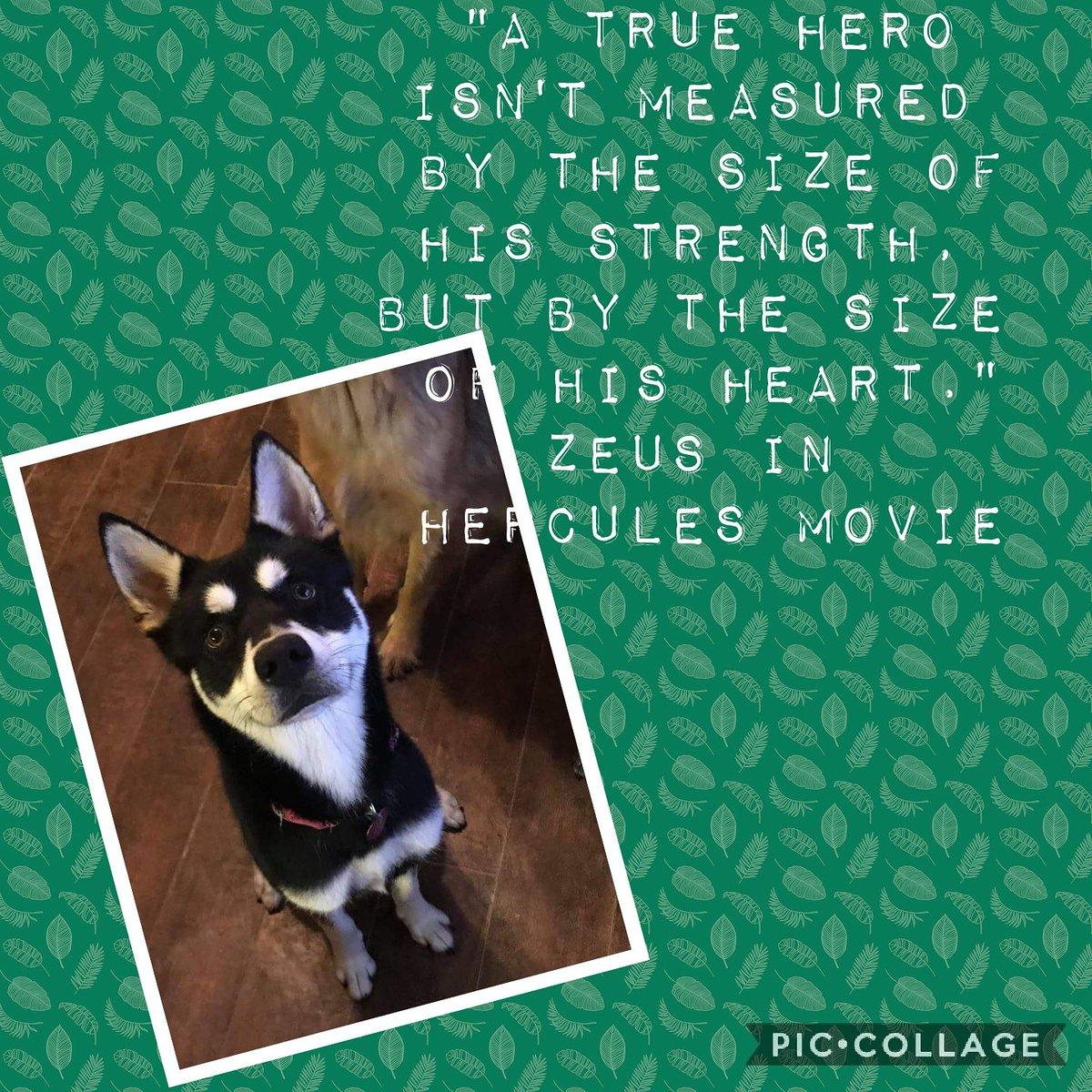 Grace Mercy Love German Shepherd Rescue On Twitter Zeus Is