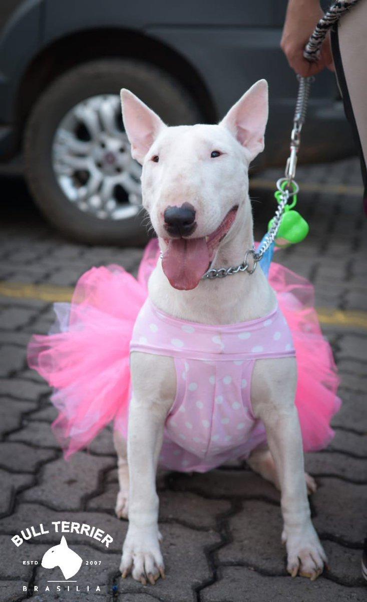 Lady Bull  #bullterrierbrasilia #BULLTERRIER #bullterriersofinstagram #Bulls #Bull #englishbullterrier #Dogs #DogsOfTwitter #dogsofinstagram #dogsofinsta #dogsarelove #dogstagram #dogsarefamily #pets #petstagram #petsupplies<br>http://pic.twitter.com/O1VHGt2Bmv