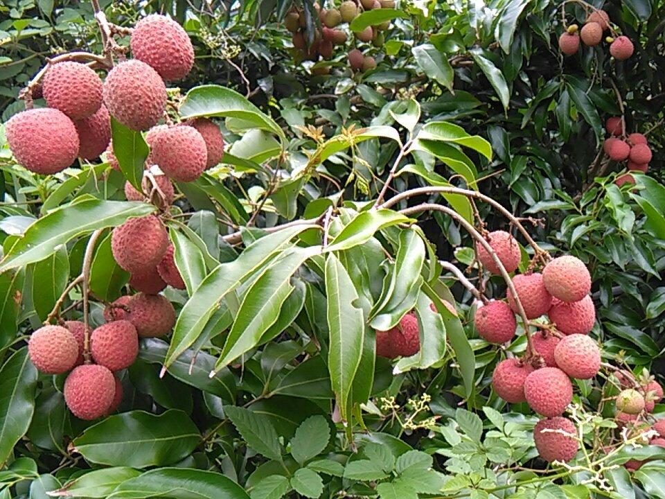熱帯果樹園 小池さん家さんの投稿画像