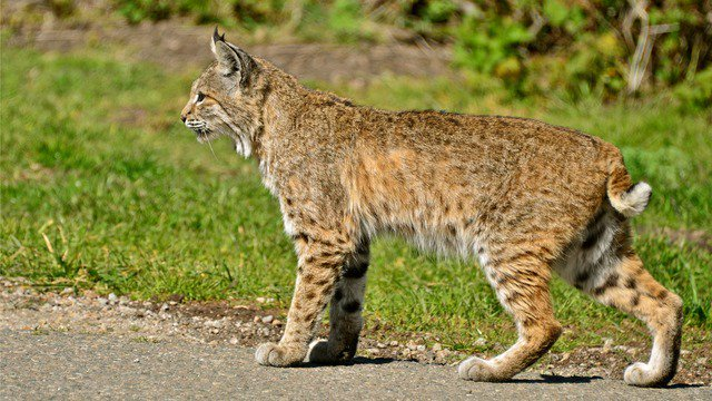A 46-year-old woman strangled a rabid bobcat after the animal attacked her in her front yard in #Georgia. Phillips says she was afraid of calling for help because her 5-year-old granddaughter was in the house. https://t.co/hLbjGzBxzQ