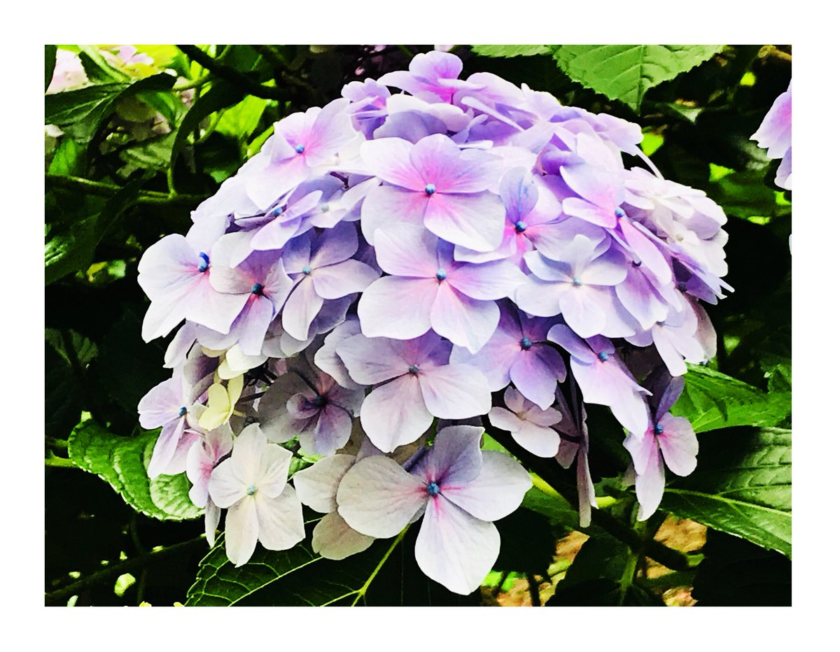 おはようございます☀️  関西地方の方が少しでも気持ちが和みますように...  江ノ島の紫陽花です。