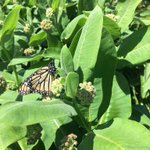 Image for the Tweet beginning: Monarch butterflies have been very
