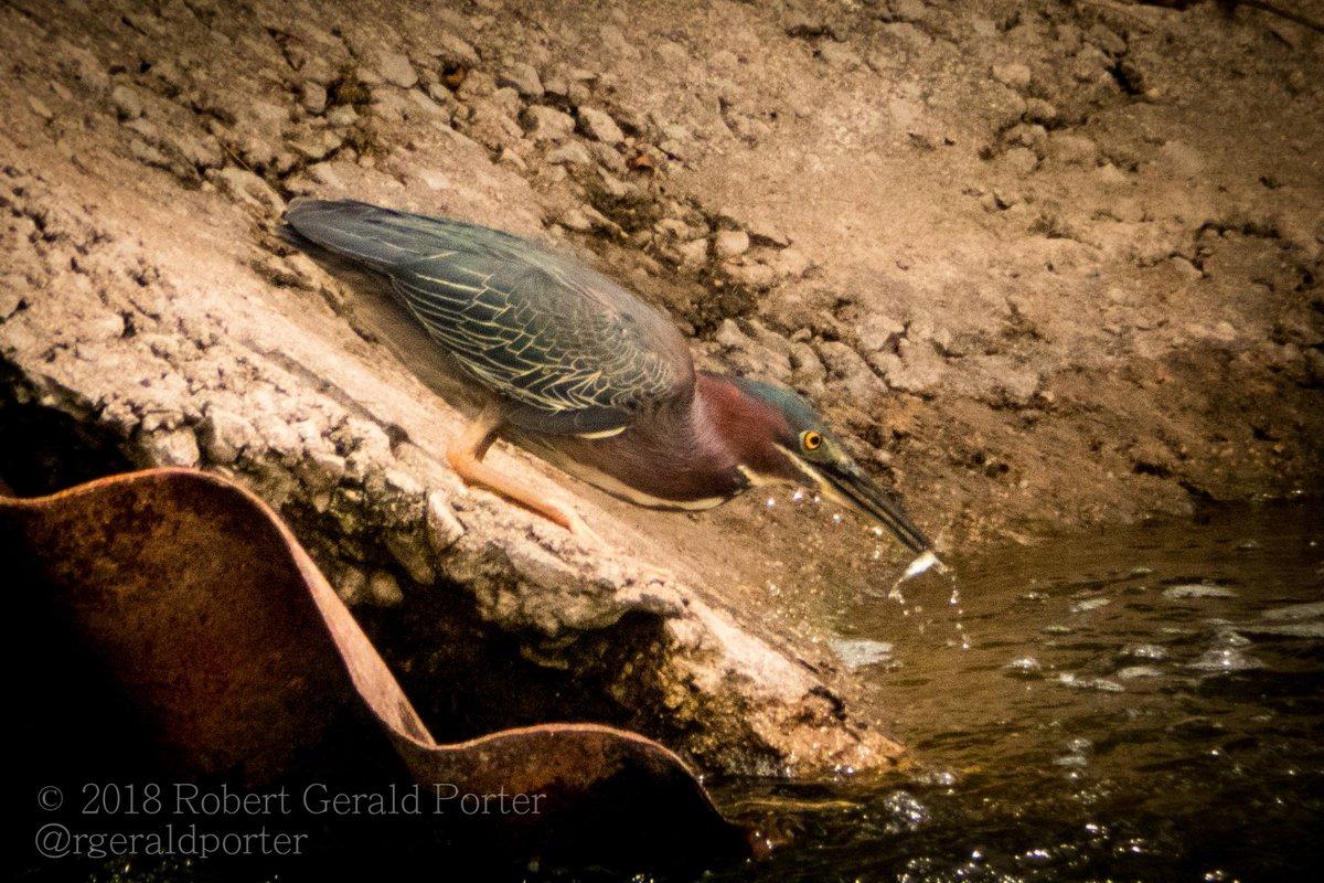 Green Heron, busy catching lots of small fish at Desjardins Canal, Dundas #HamOnt #birds #herons #GreenHeron<br>http://pic.twitter.com/kgEsdemGZQ