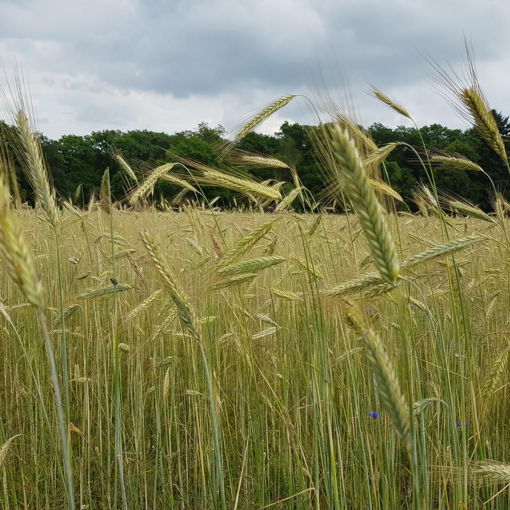 Be gentle like the wind swaying the wheat   Wees teder zoals de wind die het koren wiegt   #gentle #wind #wheat #naturesbeauty #nature #teder #koren #natuurlijkeschoonheid #natuur   Love Is What We Are