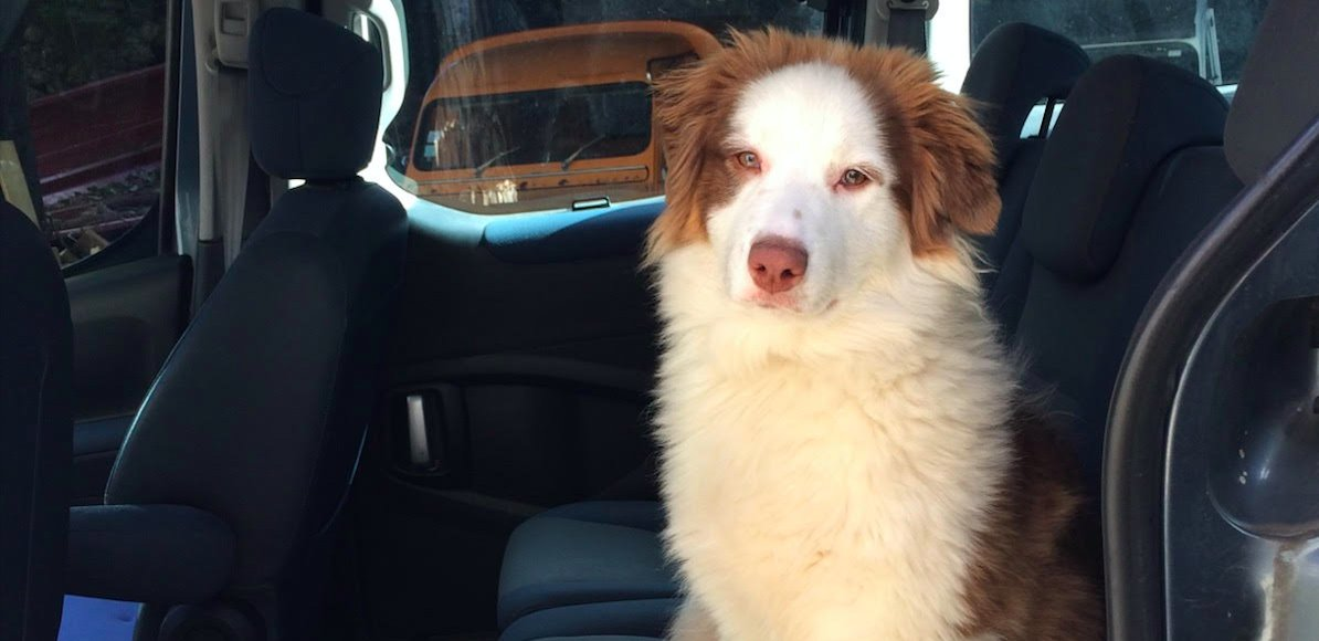 En partenariat avec La Fondation @PourlAudition, les éducateurs canins spécialisés des Chiens du silence élèvent la jeune Thelma, berger australien, et futur chien écouteur. https://t.co/l1yA54Joky https://t.co/rZPdRNBJPR