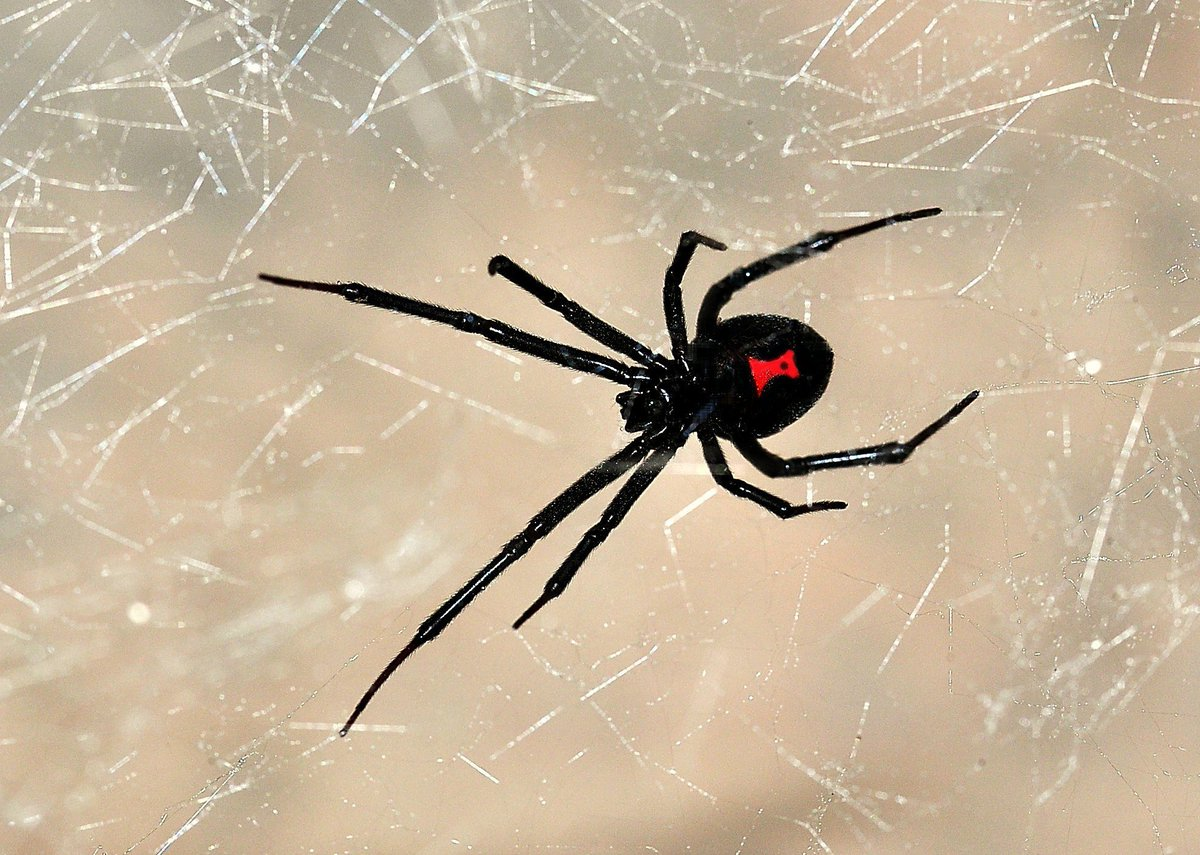 Black widow spider pictures poisonous northeast, big titted french teen