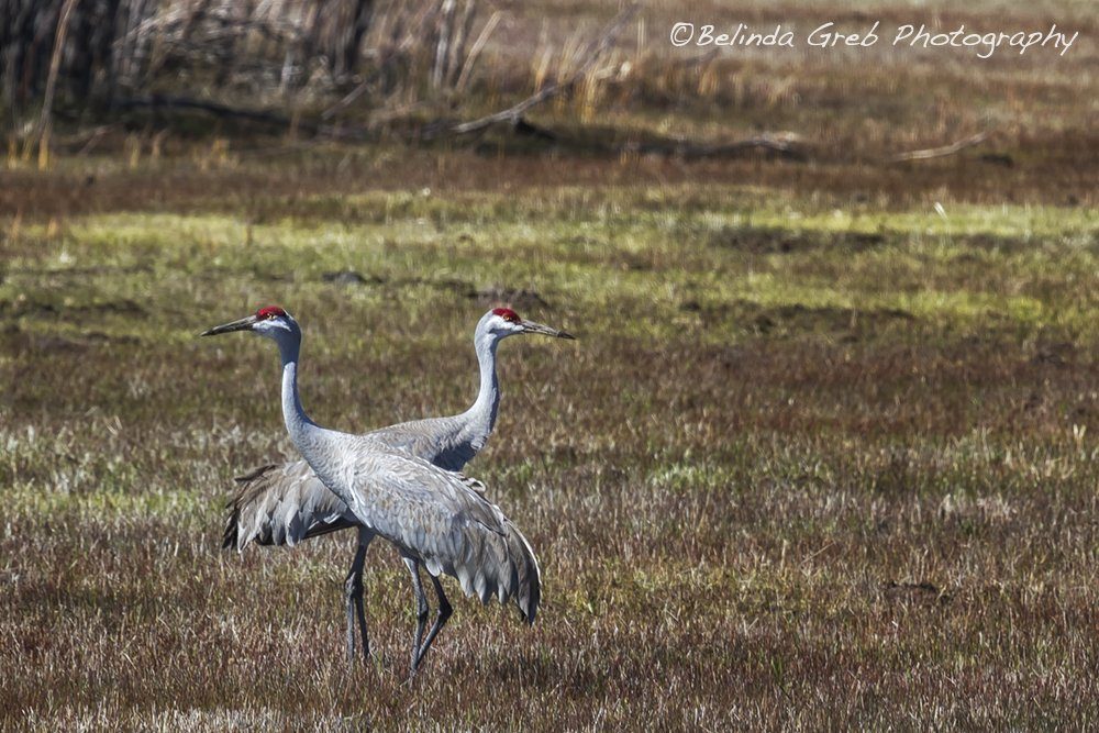 This pair of Sandhill Cranes had all fronts covered. https://t.co/WqaZwN5X4y Bird Photography by Belinda Greb https://t.co/GnkQSd4zQB
