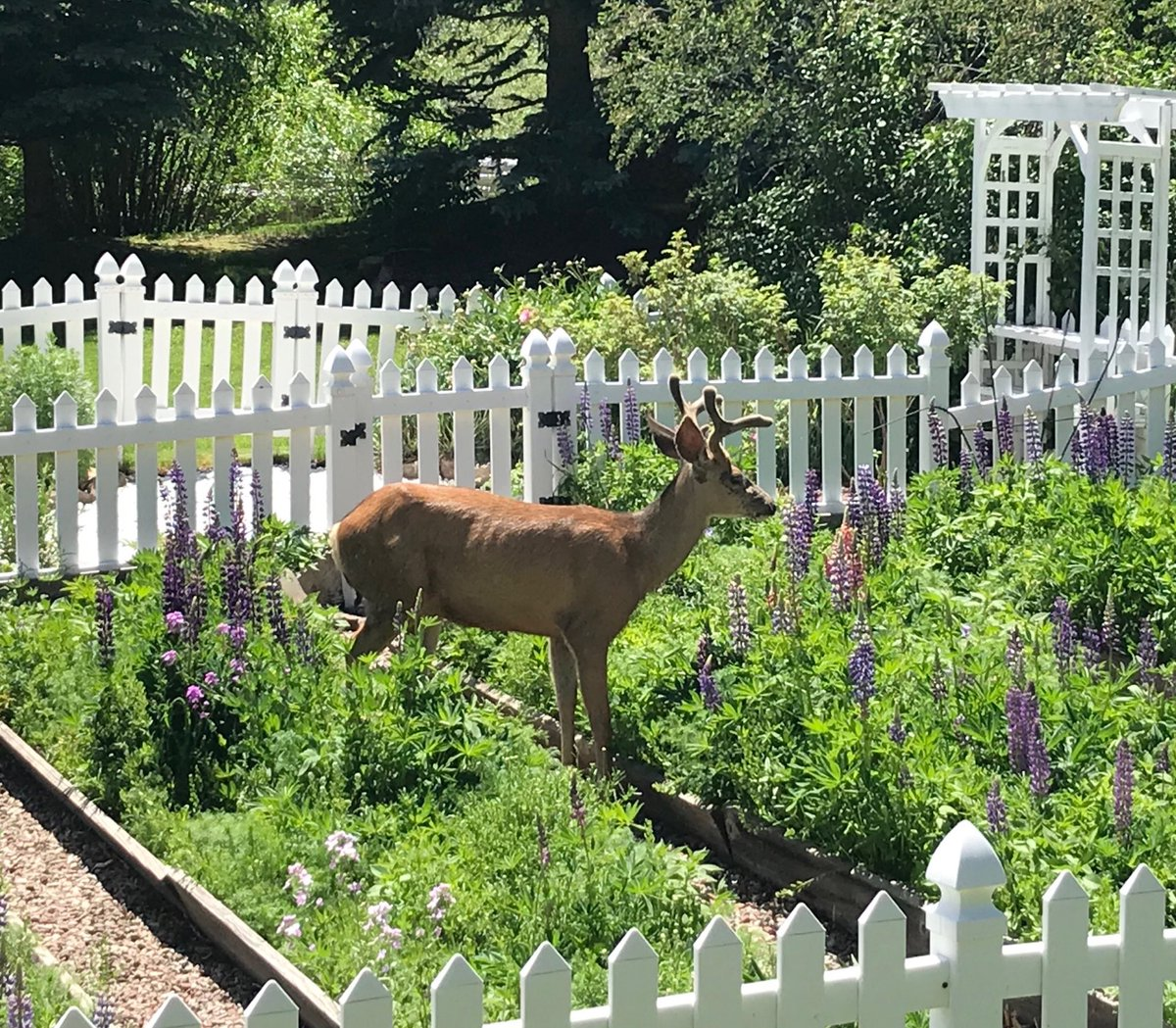 Young buck eating someone's flowers 😬 #roadtrip