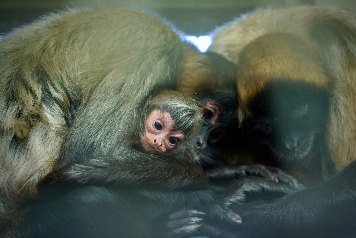 Vets still don't know its gender because it's staying close to mum. First  spider monkey born at the zoo in 7 years.  @9NewsMelbpic.twitter.com/PDDtHzl0P6