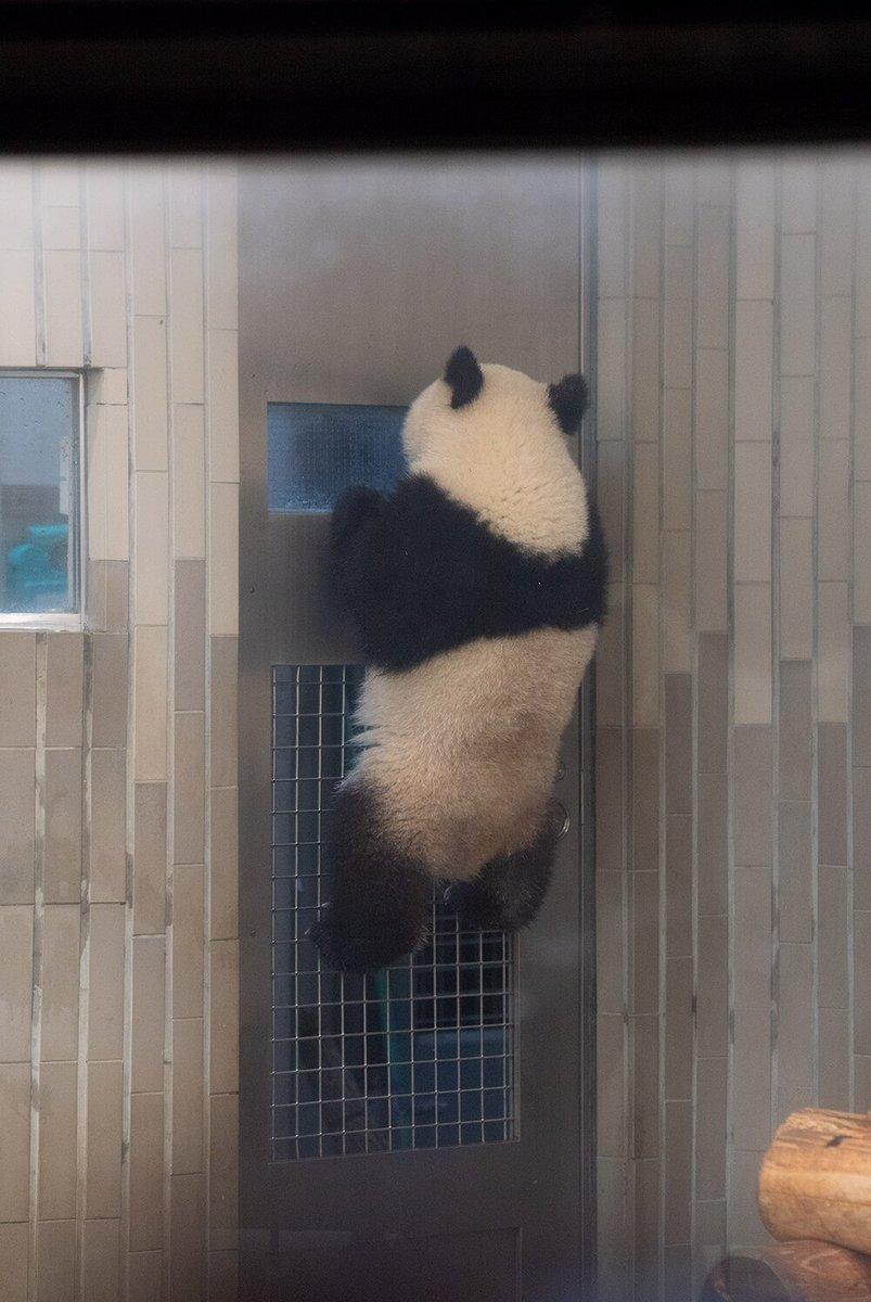 そこに登れるところがある限り、私は挑戦するの。  #毎日パンダ #シャンシャン #もはやアスリート