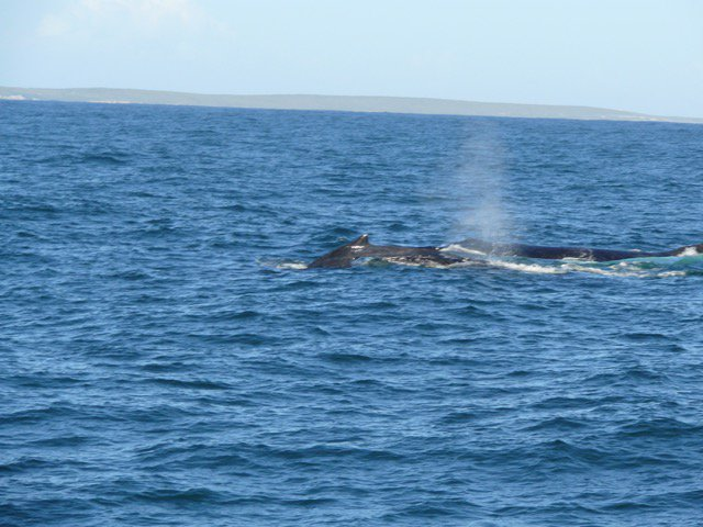 #Whalewatching today with @WhaleWatchersSA - we saw humpback #whales in Walkerbay #Hermanus @HermanusTourism @whalecrier<br>http://pic.twitter.com/0niGcvNcq1