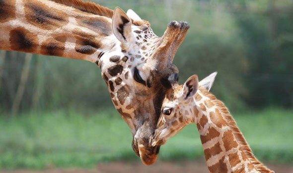 Giraffes are now on the 'red list' of endangerment due to a 40% decline over the last 25 years. They could become extinct. Gone forever. And still, we allow spoilt cunts to pay money to shoot them with a bow and arrow for fun.