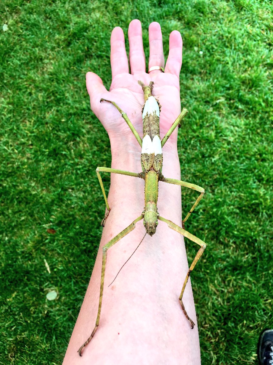 Now THAT'S a stick insect folks! (Phasma gigas from Jailolo, Indonesia - can fly but tends to glide) #NIW2018 #InsectsAreAwesome