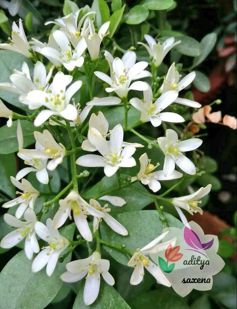 Garden center live on twitter today flower this plant has small white highly scented flowers and the plant blooms most of the year and needs direct sun and high rich acidic soilpicitter mightylinksfo