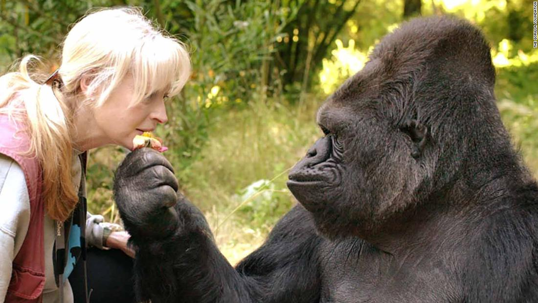 Koko, the gorilla who mastered sign language and showed the world what great apes can do, dies in her sleep at age 46 https://t.co/pOoCG8NspV