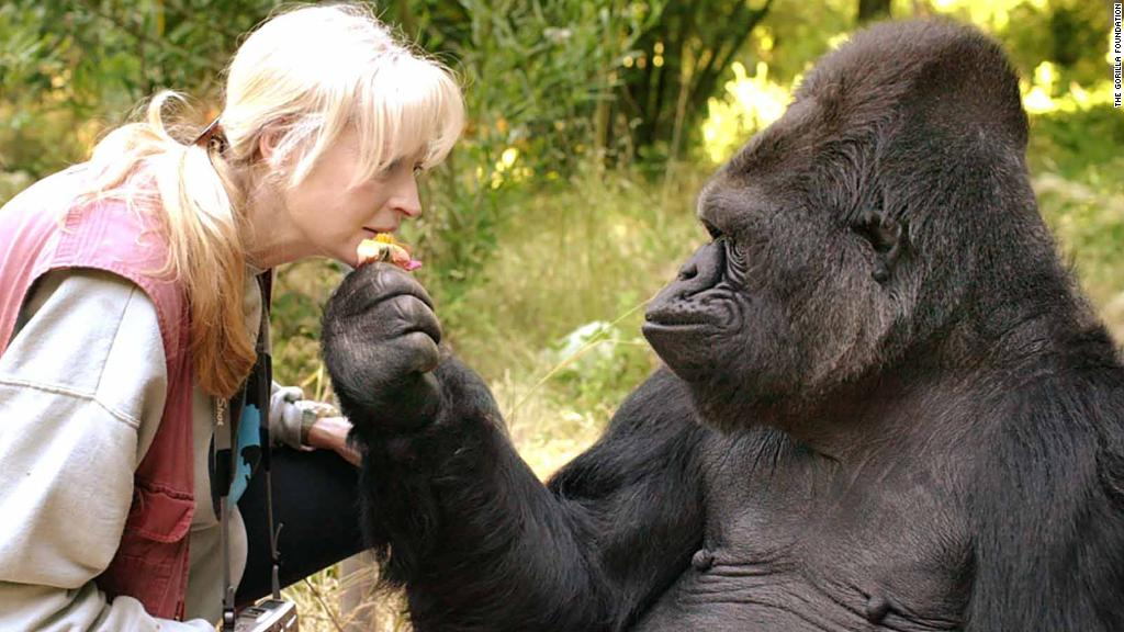 Koko, the gorilla who mastered sign language, has died in her sleep at age 46, The Gorilla Foundation says. She was said to have understood some 2,000 words of spoken English. https://t.co/kh88N0DvbP