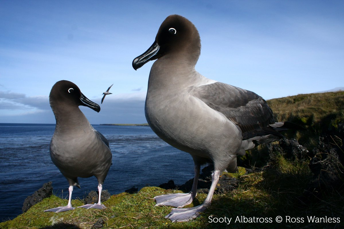 What role does disease play in the decline of albatrosses and large petrels? A new review identifies the pathogens that pose the most severe threats, and the knowledge gaps we need to fill. #ornithology > bit.ly/2tib1lG