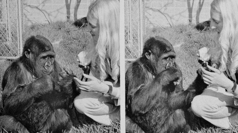 Koko, the beloved gorilla who learned sign language, dies at 46 https://t.co/tOS6aNAKZT https://t.co/wcpFf3lrhO