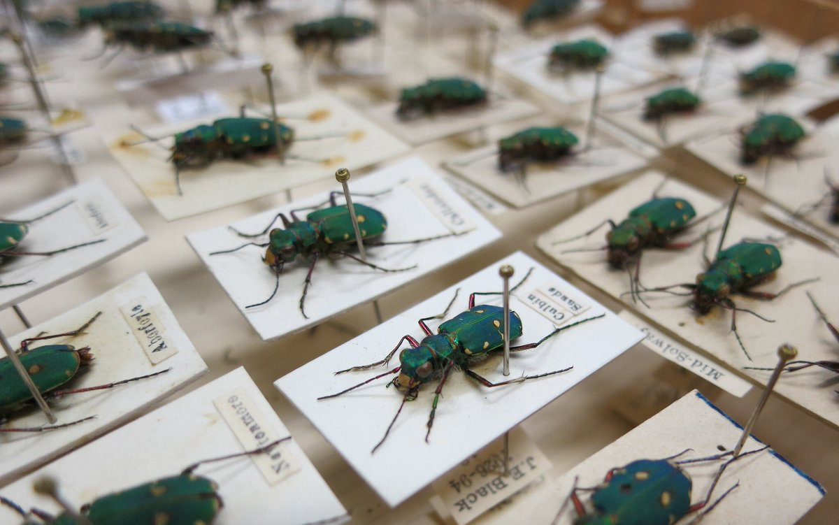 Tiger beetles are ferocious predators, equipped with large eyes and long legs for capturing prey. They are so fast and agile they're often described as the Cheetahs of the #insect world! #AmazingBeetles #Beetles #NIW2018 📷: Green Tiger Beetles (Cicindela campestris)