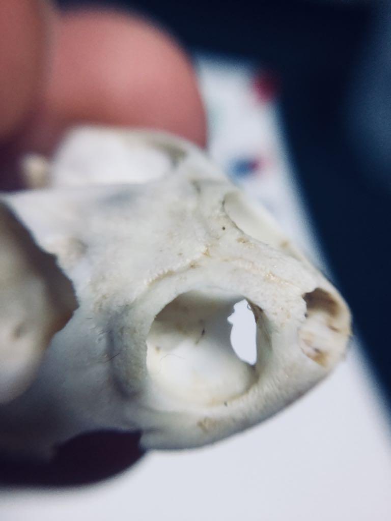 ドロヨコクビガメの目の周りが堤防のようにモリッと膨らんでいるの、めっちゃ可愛いと思うからよく見て。もっとちゃんと見て。 #ホネ仕事