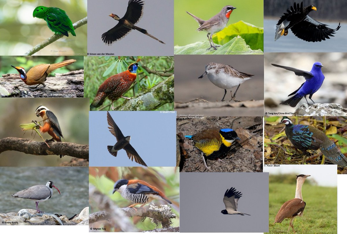 So we now know the final 16 Asian birds which will go into the fourth round of #TWC_BIRDS_Asia - but only eight can go through to the #TWC_BIRDS finals. The first poll will start tomorrow so please come back and vote!
