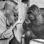 Image for the Tweet beginning: R.I.P., Koko: The beloved gorilla