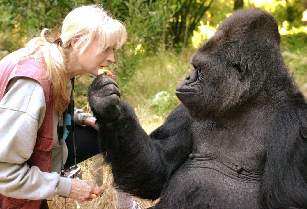 ありがとう。手話のできるゴリラ、Kokoが亡くなる #ニュース #サイエンス #動物 https://t.co/reiBDYWEXw