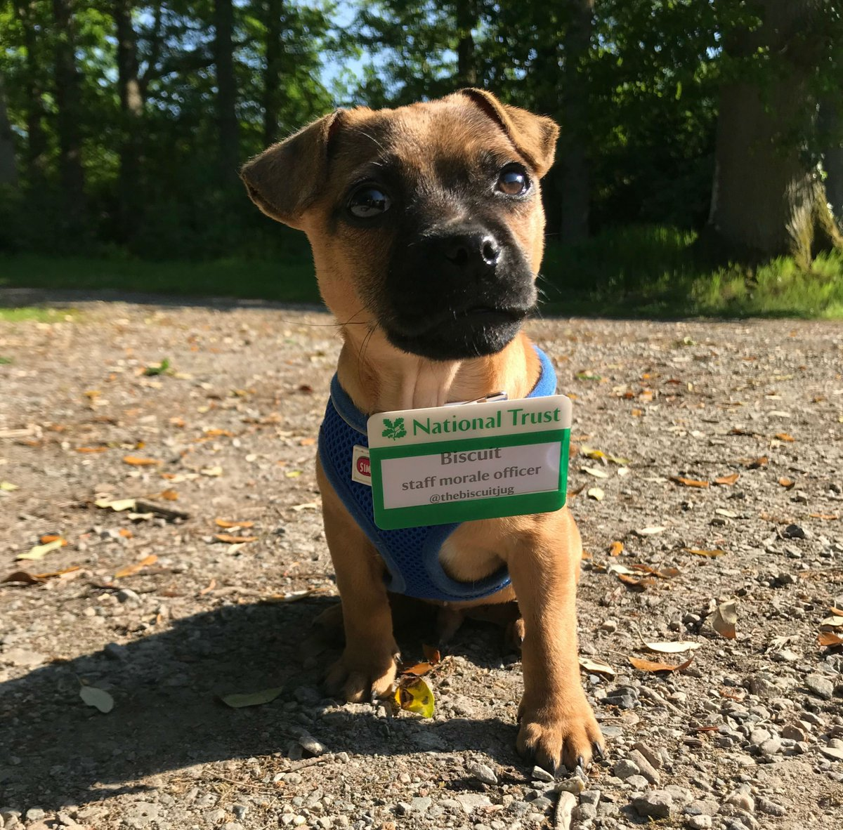 Meet Biscuit, our smallest member of staff at The Argory, @NationalTrustNI. #BringYourDogToWork #TakeYourDogToWorkDay