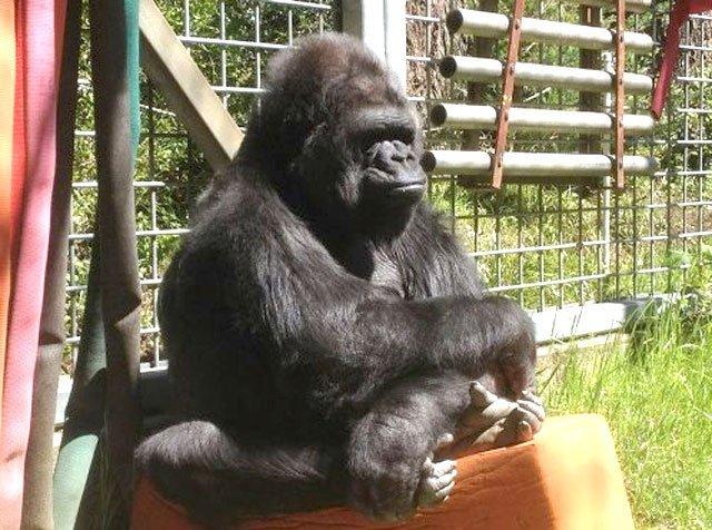 Muere Koko, la gorila que conmovió al mundo por su capacidad para entender lenguaje de señas (con video) https://t.co/lPAFPvbLDF