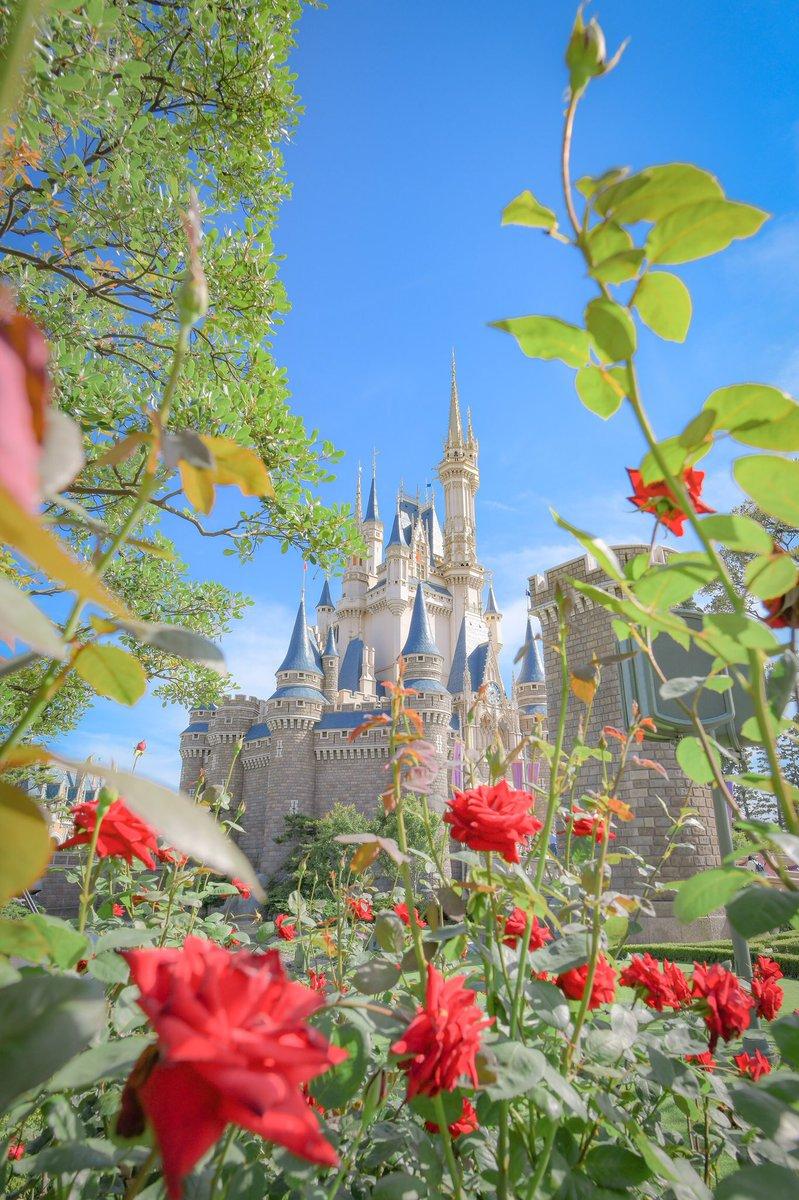青空の下でバラに囲まれてるシンデレラ城🏰💫  縦と横で撮ってみました😊 文字入れると画質落ちちゃうので、文字なしです!