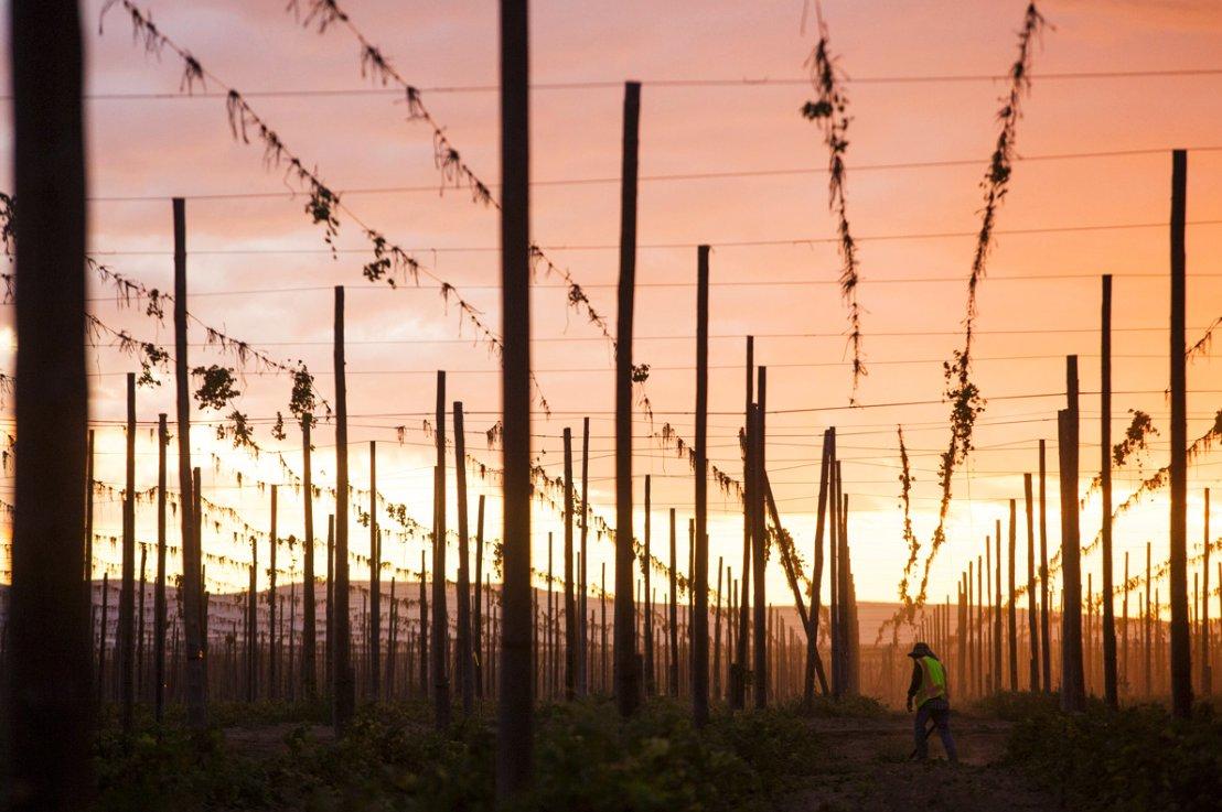 A hops harvest that grows bigger each year. #photofriday hcne.ws/2Ke80fP