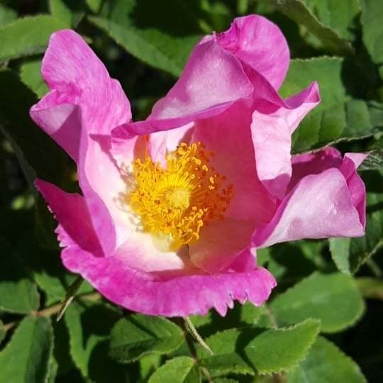 Rosa gallica #floweringtoday #therosefield #roses #twitter https://ift.tt/2tkyvH5  - Ukustom
