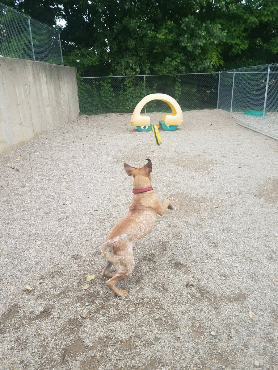 Dixie leaps for the toy!