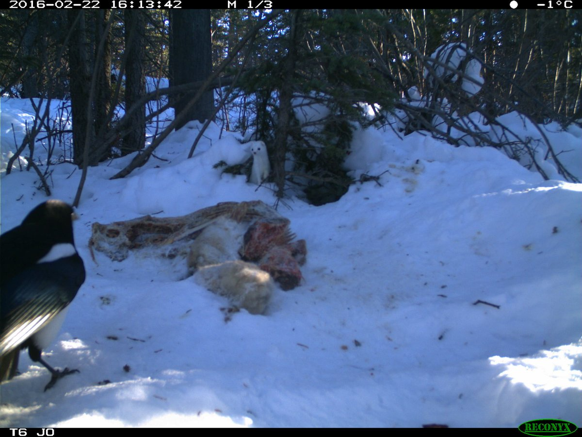 Maybe the best #cameratrap sequence out there? This weasel was scavenging for days and was not ready to share...not sure it thought this all the way through #cameratrapping #Yukon #mustelid #magpie