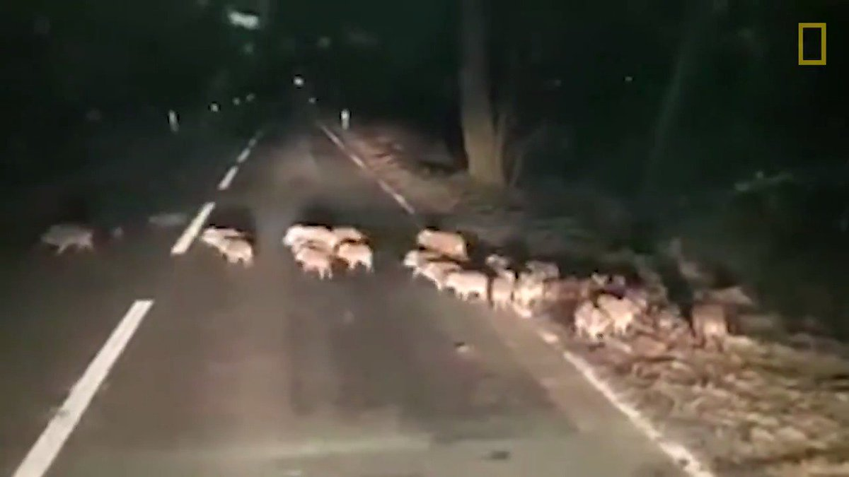 What do you do if you come across an entire pack of baby boars?