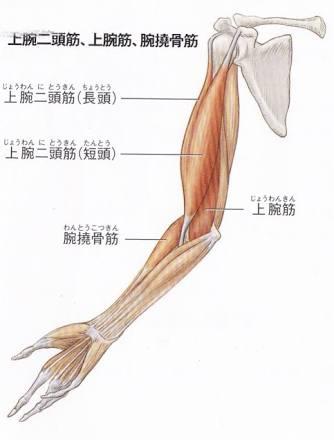 筋肉 名前 前腕