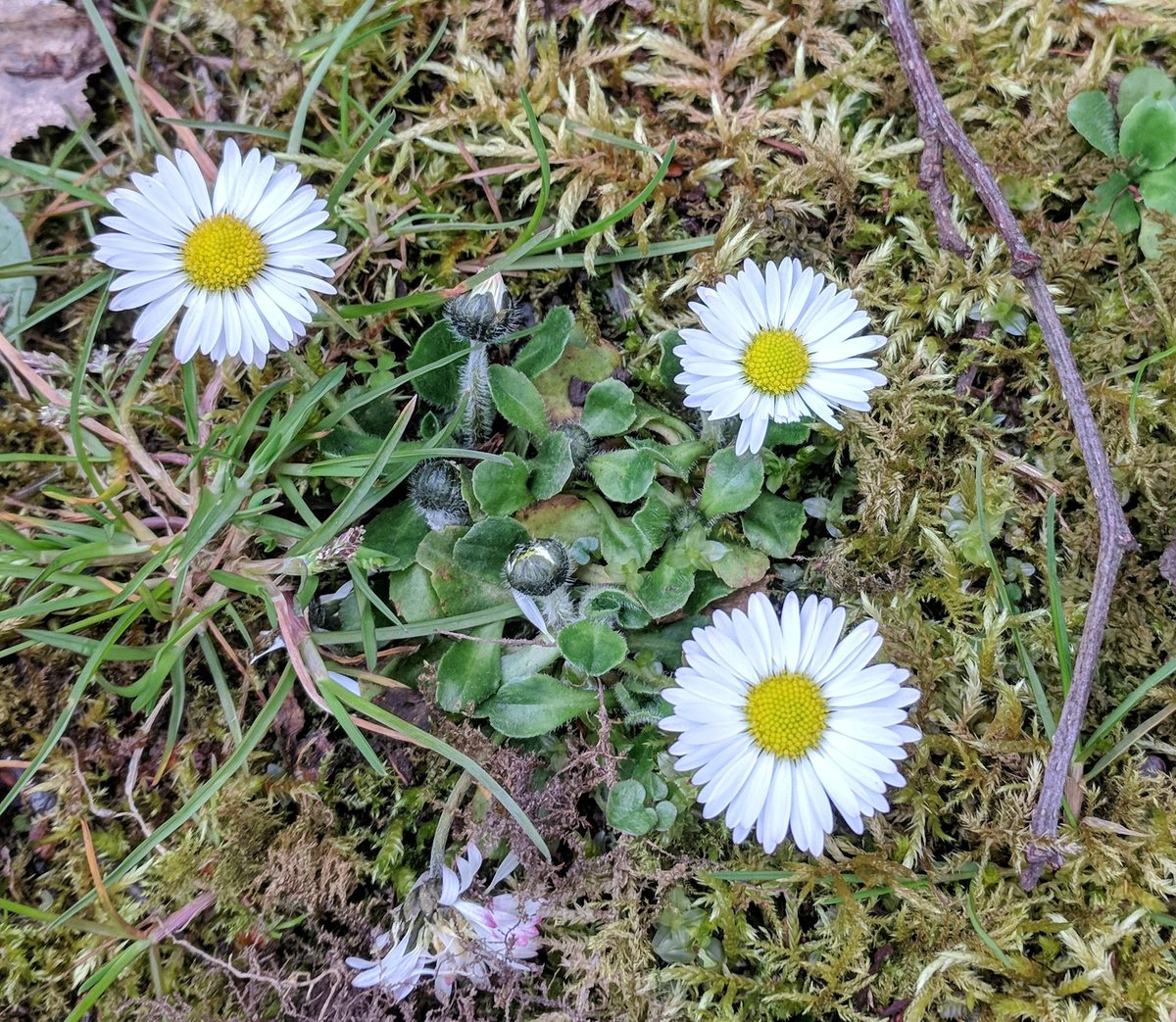 Plantlife scotland on twitter todays wildflower spotlight focuses thin white petals surrounding a bright yellow centre kicking up the daisies is to describe those who have given up gardening mightylinksfo
