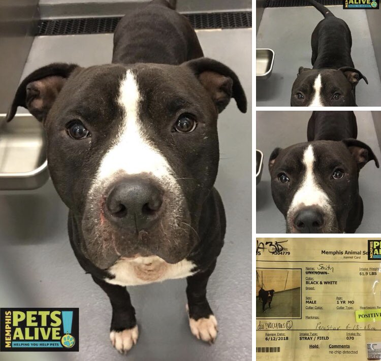 #TN #MEMPHIS CRITICAL Smithy hw+ just a year old, a sweet boy with such pleading eyes, longing for a kind home &amp; soft bed. Needs out of a packed shelter now! Pls #ADOPT #PLEDGE #RESCUE #FOSTER #A304779  https://www. facebook.com/17039065932308 87/posts/2118508241770718/ &nbsp; … <br>http://pic.twitter.com/aOuwR4MnJ4