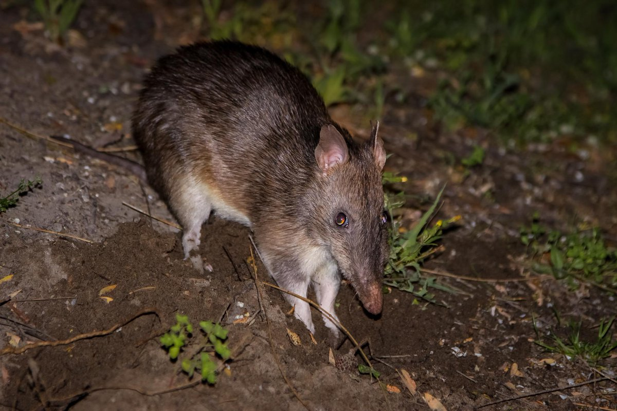 Cant sleep? Neither can this bandicoot. 🐾 Mostly because hes nocturnal, but also because he loves watching Stephen Hawking on Discovery GO bit.ly/2tqbSAO