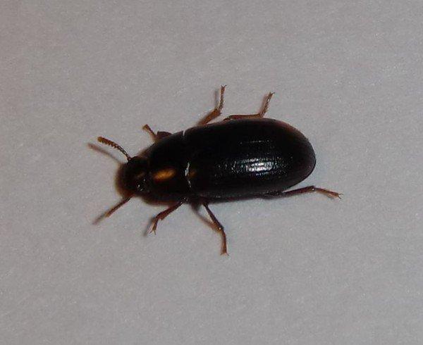 политику что за черные жуки в квартире фото культуры, что изображено