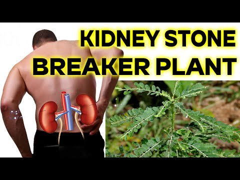 Please RT! #recipes #food #dessert Kidney Stone Breaker Plant #Orange Health https://t.co/Ua2BVeQHhT https://t.co/aBINCsqm6M