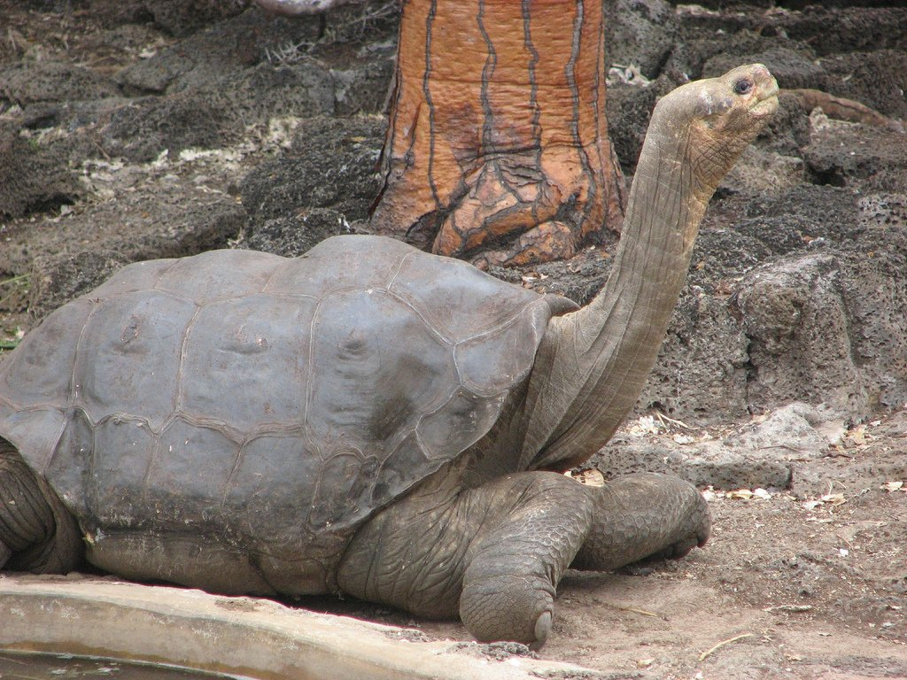 Exactly six years ago today Lonesome George expired, the last member of the Pinta Island subspecies of the Galápagos tortoise. He was about 102 years old, and they couldnt find a mate for him. bit.ly/2InwJtk