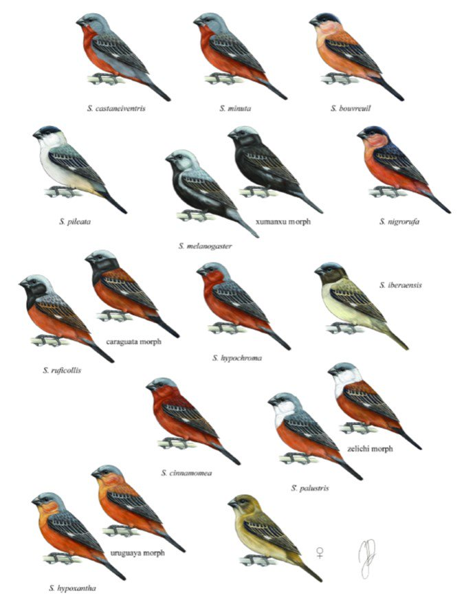 New story on the Avian Hybrids Project based on a paper in @PLOSONE Are hybrids between capuchino seedeaters fertile? wp.me/p4Il5i-LN Great study using captive breeding records. Important take-home message: collaborate with bird breeders! #ornithology #hybridization